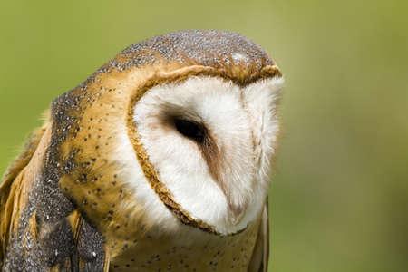 Close up of barn owl in captivity. photo