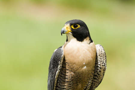 Close up of peregrine falcon in captivity. Reklamní fotografie