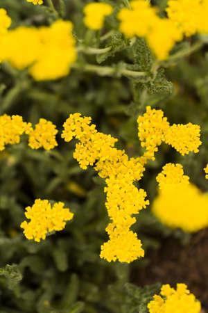 yarrow: Garden in full bloom on sunny summer day. Stock Photo