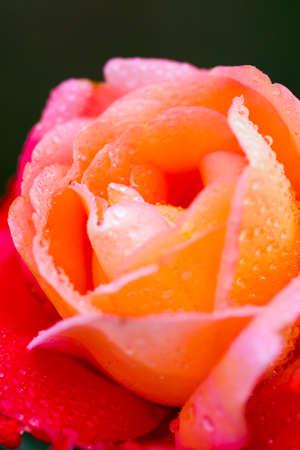 Blooming roses in urban garden.