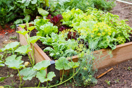 vegetable plants: Community gardening in urban community. Stock Photo