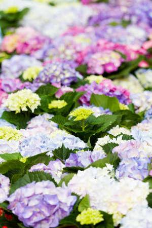 Colordul hydrangea in flowering carpet.