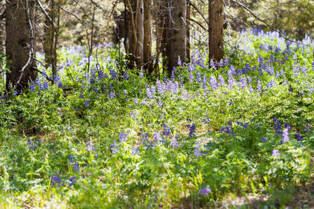 Lupins in full bloom on the alpine forest floor. Stock Photo - 21095405