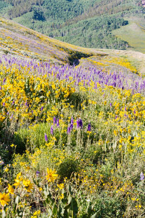 Yellow and blue wildflowers in full bloom in the mountains. Stock Photo - 21095598