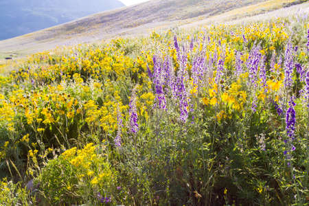 Yellow and blue wildflowers in full bloom in the mountains. photo