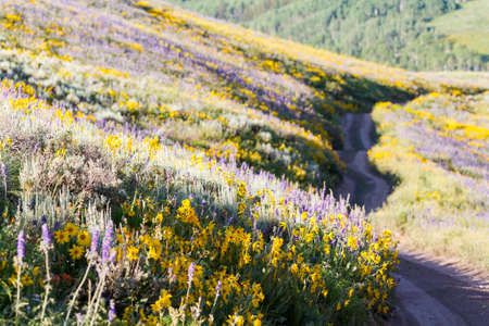 Yellow and blue wildflowers in full bloom in the mountains. Stock Photo - 21095641