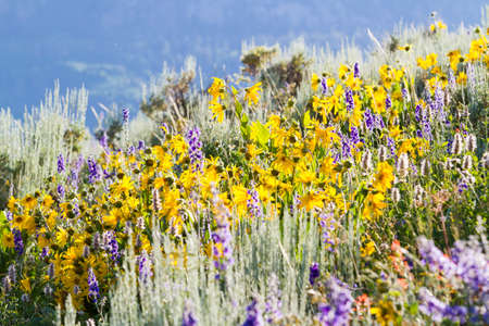 Yellow and blue wildflowers in full bloom in the mountains. Stock Photo - 21095690