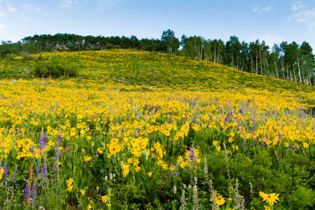 Yellow wildflowers in full bloom in the mountains. photo