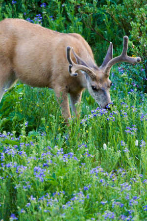 Young buck deer grazing in a field of blue wildflowers. photo