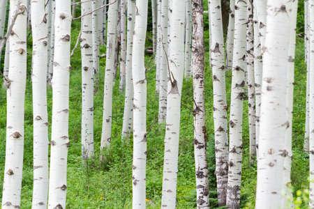 butte: Aspen forest near Crested Butte, Colorado.