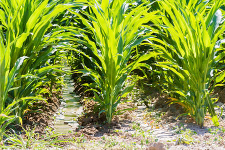 mealie: Corn field in middle of the esason. Stock Photo
