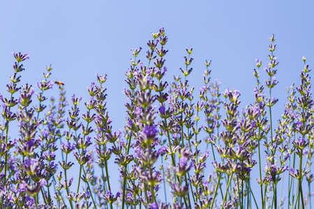 Lavender in full bloom on lavender farm. photo
