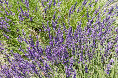 arroyo: Lavender in full bloom on lavender farm.
