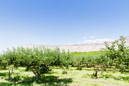 Apple orchard with view of buttes. Banco de Imagens