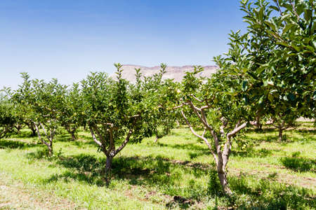 arroyo: Apple orchard with view of buttes. Stock Photo