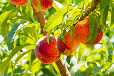 Peaches on the tree ready to be picked.