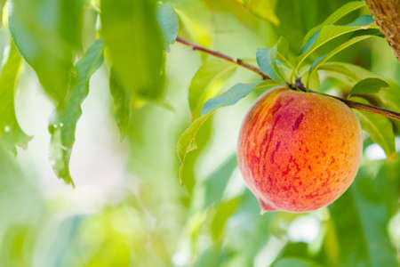 arroyo: Peaches on the tree ready to be picked.