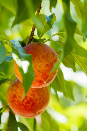 palisade: Peaches on the tree ready to be picked.