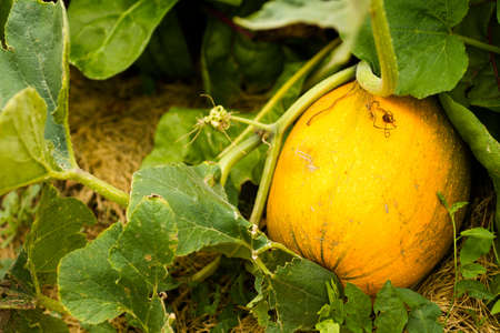 vegetabilis: Growing squash in organic vegetable garden.