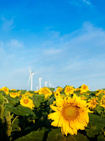 limon: Wind turbines over a beautiful sunflowers field in Limon, Colorado.
