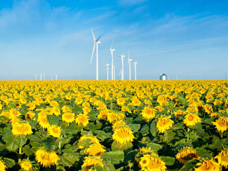 Wind turbines over a beautiful sunflowers field in Limon, Colorado. photo