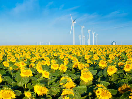 Wind turbines over a beautiful sunflowers field in Limon, Colorado.