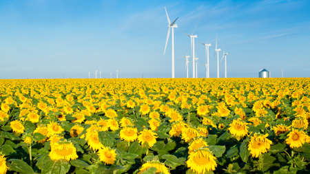 Wind turbines over a beautiful sunflowers field in Limon, Colorado.