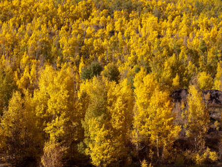 Yellow aspens in autumn, Colorado. photo