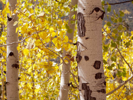 aspen leaf: Yellow aspens in autumn, Colorado.