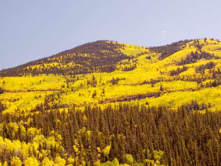 Yellow aspens in autumn, Colorado. Stok Fotoğraf - 21945216
