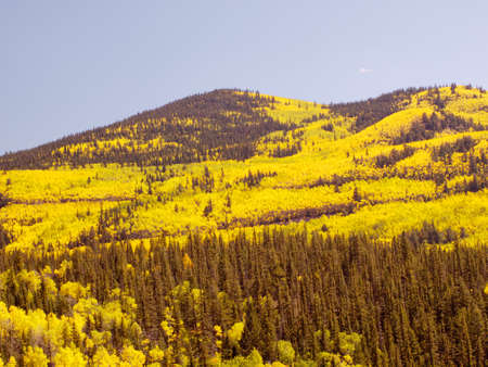 Yellow aspens in autumn, Colorado.
