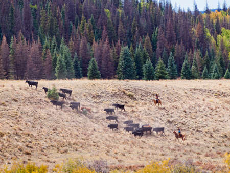 autumn horse: Cattle drive by two cowboys in Colorado. Stock Photo