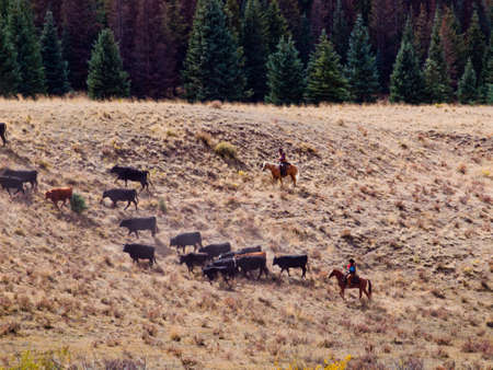 Cattle drive by two cowboys in Colorado. photo