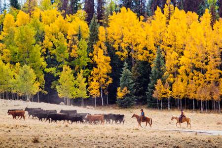 Cattle drive by two cowboys in Colorado. Archivio Fotografico