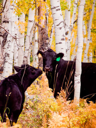 Free-range cattle inside of aspen forest. Colorado. photo