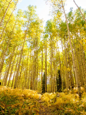In the san juan range of the Colorado Rocky Mountains, autumn turns aspen trees a golden yellow that contrasts their white trunks. photo