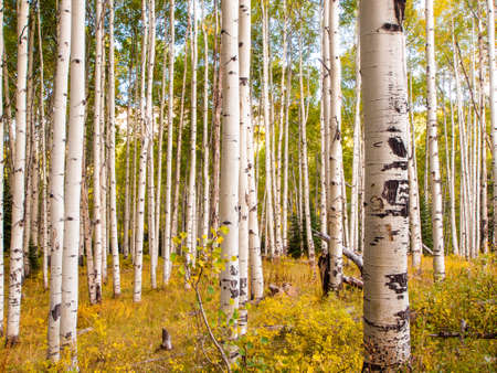 サンファンのコロラド州ロッキー山脈、範囲で秋ターン アスペン木、白いトランクは対照的な黄金色。