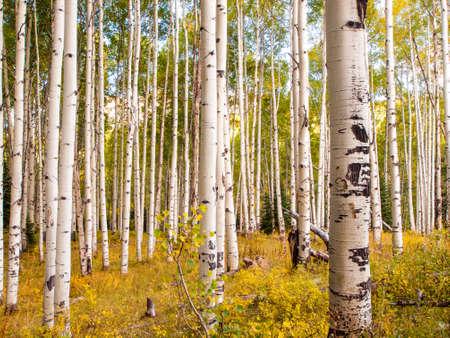 콜로라도 록키 산맥의 산 후안의 범위에서, 가을 아스펜 나무에게 자신의 흰색 트렁크를 대조 황금 노란색으로 변합니다.