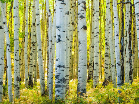 contrasts: In the san juan range of the Colorado Rocky Mountains, autumn turns aspen trees a golden yellow that contrasts their white trunks.