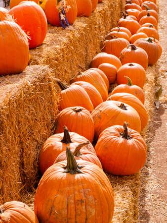 Riped pumpkins at the pumpking field.
