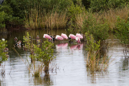south padre: Roseate spoonhill in natural habitat on South Padre Island, TX.