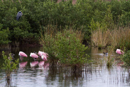 south padre island: Roseate spoonhill in natural habitat on South Padre Island, TX.