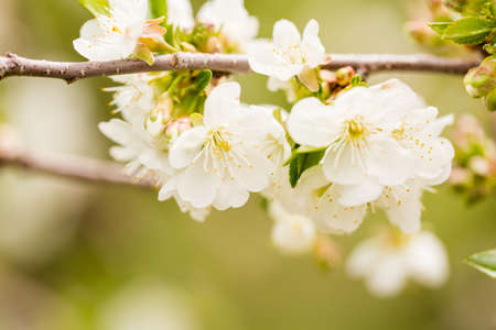 Close up of the apple tree in bloom. Stock Photo
