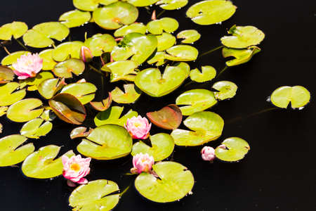 nymphaeaceae: Blooming water lilies in the garden in early summer.