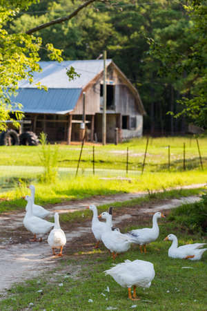 Flock of white geese on the dirt farm road.