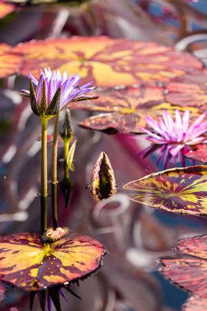 nymphaeaceae: Blooming waterlilies of different colors in water garden.