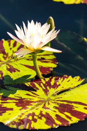 Fioritura ninfee di diversi colori in giardino d'acqua. Archivio Fotografico - 30729527