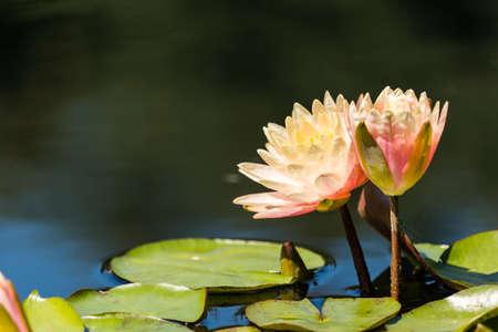 Fioritura ninfee di diversi colori in giardino d'acqua. Archivio Fotografico - 30729721