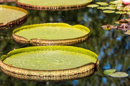 Grandi foglie di loto galleggiante in acqua giardino. Archivio Fotografico - 30729757