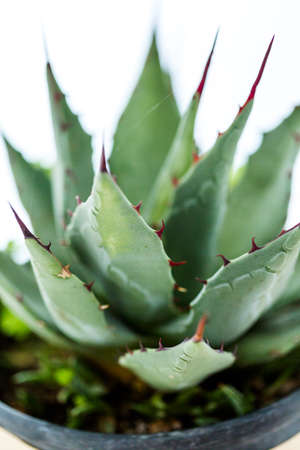 Small agave plant on a white background. Stok Fotoğraf - 31706814